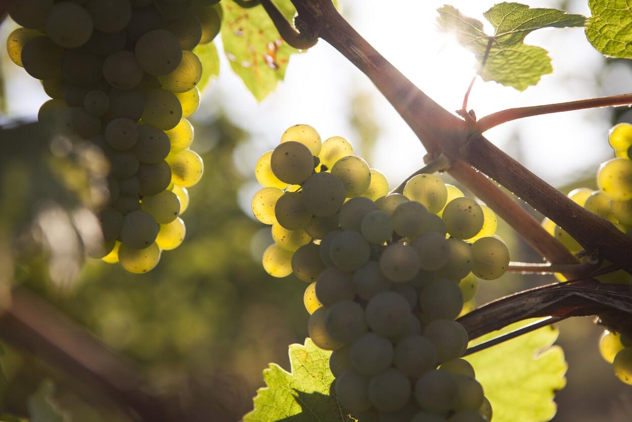 Weintrauben Müsel